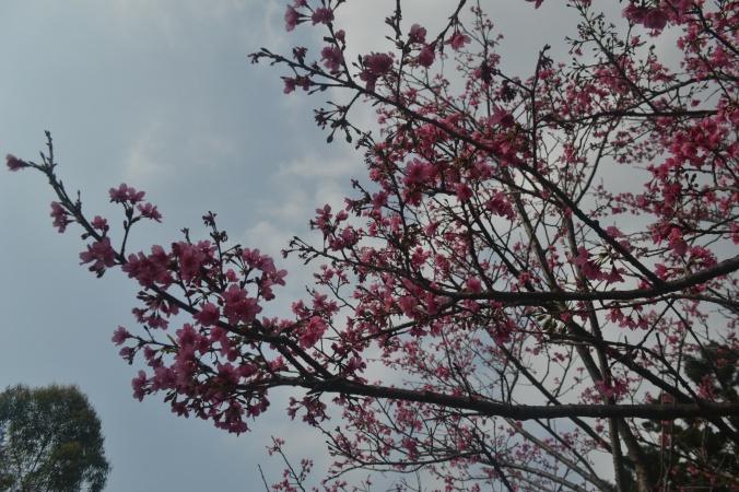 cherry blossom tree in full bloom